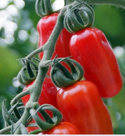 Ripley Farm Shop tomatoes | Local Food Surrey