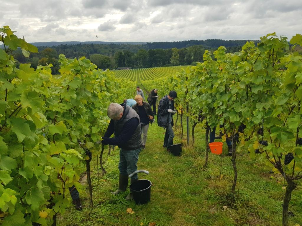 Local_Food_Britain_joins_Albury_Organic_Vineyard_for_their_2019_grape_harvest_2.jpg