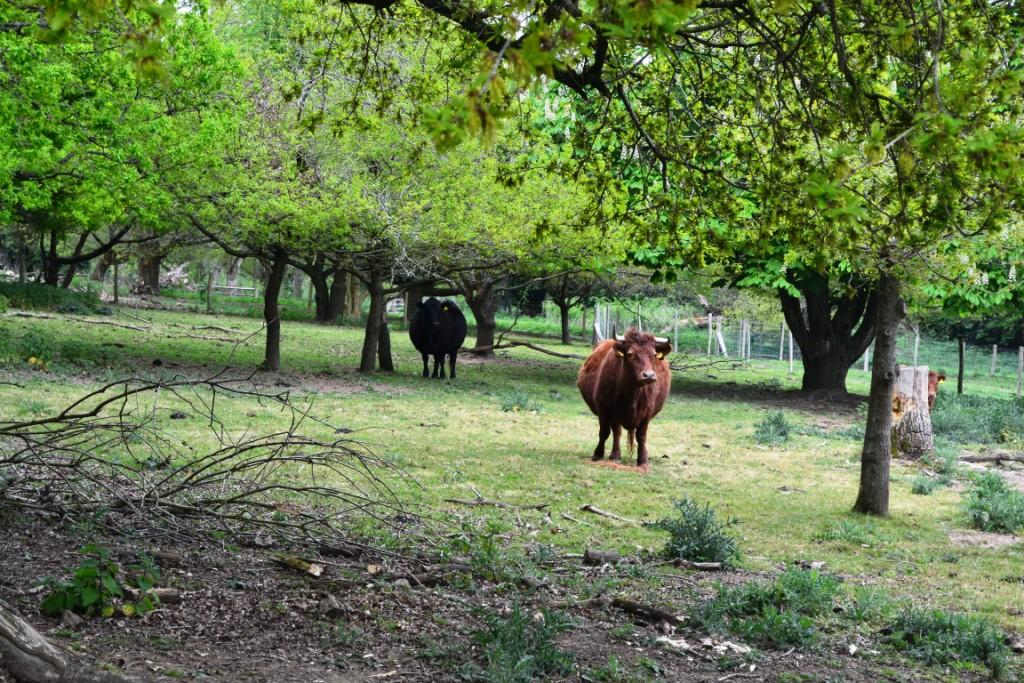 Cattle relaxing among the trees at Glebe House in Godstone, Surrey