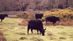 Three Harbours Beef Cattle Grazing, Local Food Sussex