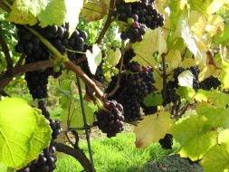 Upperton Vineyards grapes / Local Food Sussex