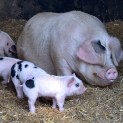 The pigs at Hill House Farm