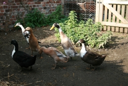Free-range duck eggs at Glebe House Godstone | Local Food Surrey