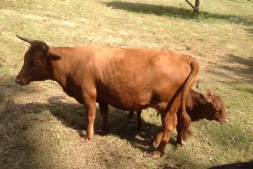 Dexter Cows at Glebe House, Godstone | Local Food Surrey