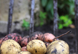 Freshly dug potatoes from Hampshire growers