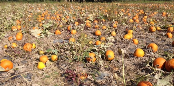 Pumpkins at Westons Farm Shop, Sussex | Local Food Britain