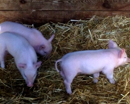 Piglets eating straw at Rookswood Farm, Outwood | Local Food Surrey