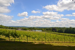 The grapes in the sunshine at Greyfriars Vineyard, Surrey | Local Food Britain