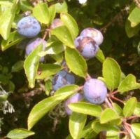 Sloe gin recipe - makes one bottle