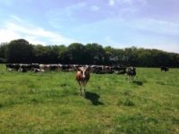 Plurenden Manor Farm on dairy farming, happy cows and fresh milk